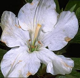 Flower blight on azalea