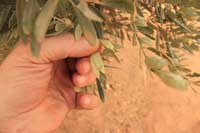 Leaves of olive showing galls caused by the olive mite, Oxyenus maxwelli.