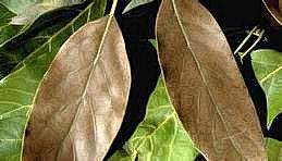Brown leaves caused by avocado brown mite