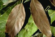 Brown leaves caused by avocado brown mites