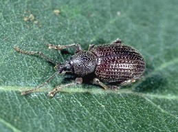 Adult cribrate weevil