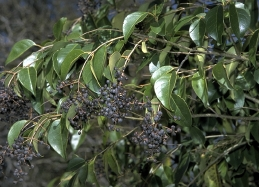 Privet fruit and foliage