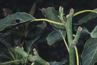 Young avocado shoots chewed by mule deer