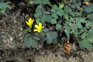 Creeping woodsorrel, Oxalis corniculata.