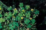 Creeping woodsorrel