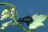 Adult black vine weevil.