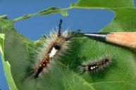 Early instar and later instar western tussock moth on damaged leaf, with pencil point.