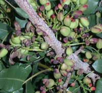 Crop load adjustment is characterized by panicles with filled and non-filled nuts.