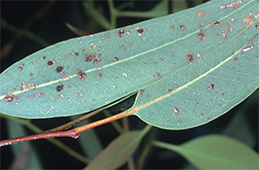 Scabby blisters (edema) on eucalyptus
