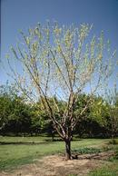 General aboveground symptoms of tree with crown and root disease.