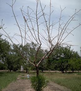 Young tree affected by bacterial blight