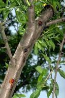 Trees infected with bacterial canker develop cankers that ooze gum