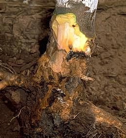 Discolored wood of aPhytophthora  infection