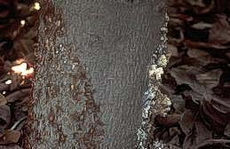 Beads of sap on tree trunk