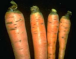 Cavity spot on carrots