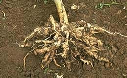 Infected plants show root clubbing