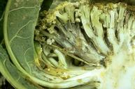 Downy mildew fungus produces dark streaks beneath the cortical tissue.