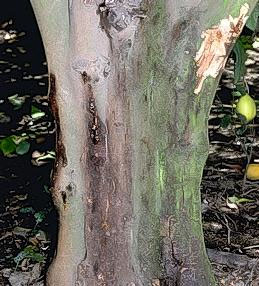 Oozing from darkened trunk bark