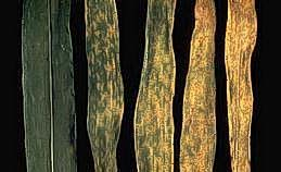 Rust pustules on corn leaves
