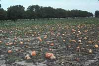 Pumpkins infected with Phytophthora capsici rot in a field.