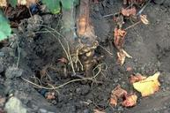 Darkened bark and wood tissue is a symptom of Phytophthora crown and root rot.