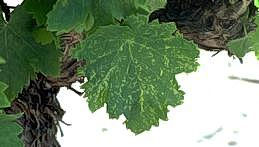 Leaf spots with yellowish margins