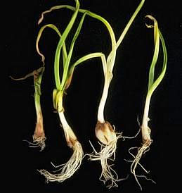 Browning of garlic bulbs and yellowing of foliage