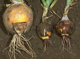 Healthy bulb (left) and infected bulbs