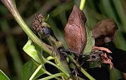 Blossom blast infects fruit and leaves resulting in depressed black spots.