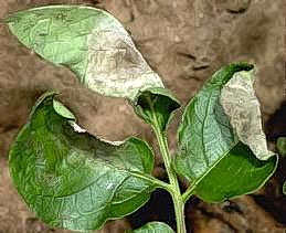 Late blight symptoms on potato leaves