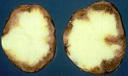 Brown decay in potato tubers