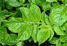 Mosaic and yellowing of potato mosaic virus