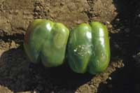 Water-soaked patches on bell pepper fruit characterstic of a Phytophthora capsici infection.
