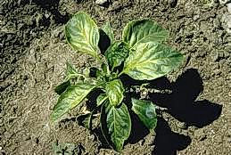Cucumber mosaic virus of pepper