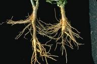 Stunting and discoloration from Phytophthora root rot on pepper roots.