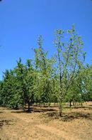 Foliage on trees with Phythophthora root rot will be sparse.