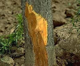 Bark cut away reveals dark discoloration.
