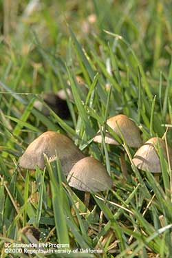 Mushrooms infesting turf