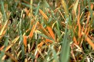 Rust damage to bluegrass foliage.
