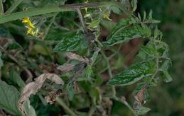 Late blight infection on tomato leaves
