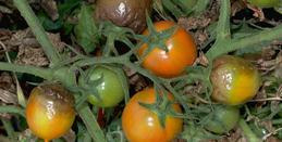 Tomato fruit discoloration