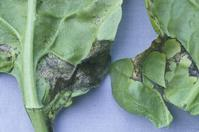Angular, dark lesions of bacterial leaf spot caused by Pseudomonas syringae pv. spinacea.