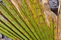 Diamond scale, caused by Phaeochoropsis neowashingtoniae, has destroyed chlorophyll in portions of this California fan palm, Washingtonia filifera, creating brown, dead areas.