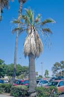 California fan palms with diamond scale typically have a reduced canopy of leaves.