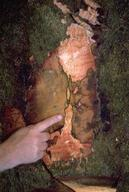 Reddish, discolored tissue and distinct, black zone lines beneath the bark of a black oak infected with Phytophthora ramorum.