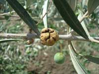 Olive knot galls form on twigs at sites of infection by Pseudomonas savastanoi.