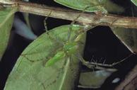 Adult green lynx spider on crape myrtle leaves and stem.