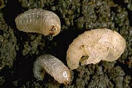 Fuller rose beetle larvae (left) and pupa