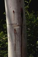 Holes in trunk ooze with sap, a common sign of a longhorned borer infestation.