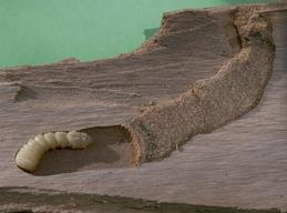 Larva of roundheaded wood borer